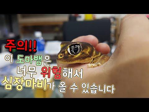 주의)이 도마뱀은 너무위험해서 심장마비가 올수있습니다