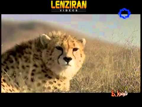 Part of documentary directed by David Jankowski about  Iranian Cheetah