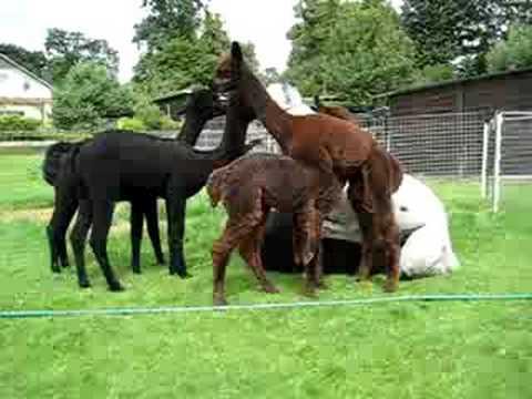 Horse mating - Deckakt Pferde Videos 4 Share