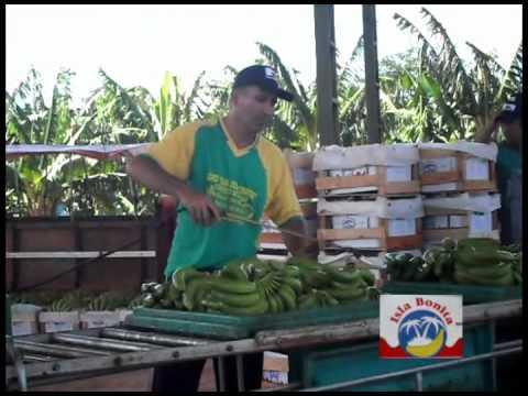 Banana Isla Bonita - Export Paraguay