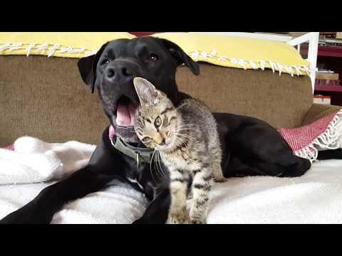 Kitten Meets Dog | Rescued Stray Kitten Shows Love to Pitbull Lab Mix