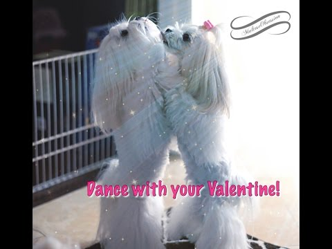 Independent Glamour Girls ~ Maltese Dogs Dancing ! To Korean Pop Music By Miss A video