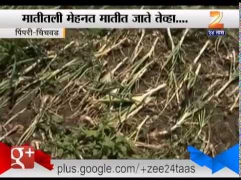 Pimpri Chinchwad : Untimely Heavy Rain Destroyed All Crops