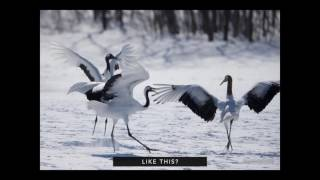 Dance Lesson Of Cranes
