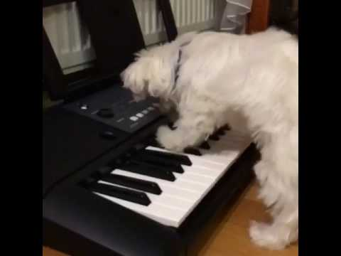Pies Gra Na Keyboardzie (dog Play On Keyboard)
