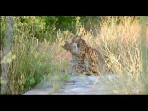 Ryś Hiszpański - Walka o Przetrwanie, Spains Last Lynx / National Geographic