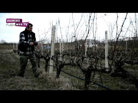 Κλάδεμα στους αμπελώνες Γουμένισσας - Eidisis.gr webTV