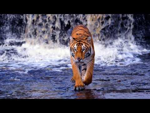 фото тигра на заставку телефона № 15094 без смс