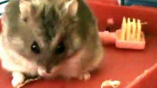 Funny hamster video Hamster on the shelf ))) Part 1 Mr. Skittles and Snowflake