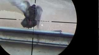 Air rifle hunting #6 Shooting pigeons - pest control