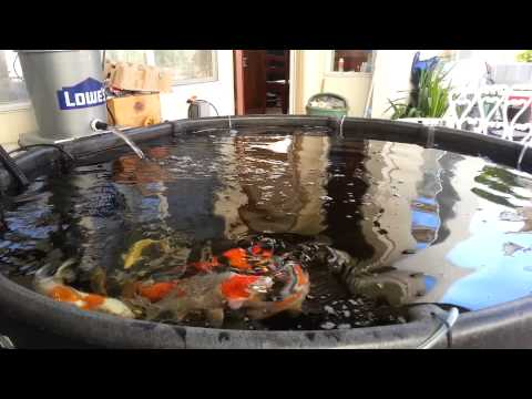 Stock tank 300 gallon koi fish