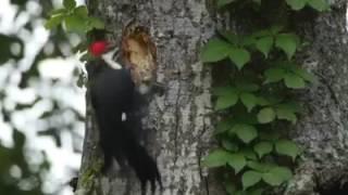 cara membuat lubang burung pelatuk