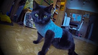 Fang the cat wears a sweater for the first time