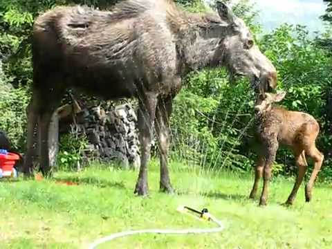 Twin baby moose in sprinkler