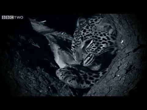 Night Hunting - Natural World 2009-2010: Secret Leopards - Preview - BBC Two
