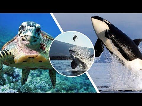シャチがウミガメを捕食する前に空中に放り投げて遊ぶ瞬間映像