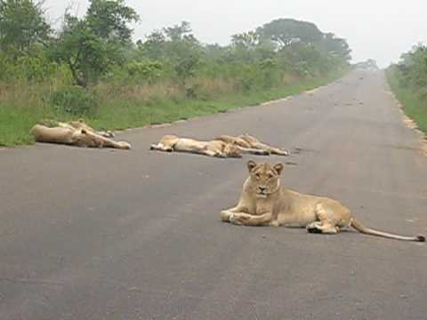 South Africa Kruger Park -  couple of lions laying on the main road. please move we wanna pass!