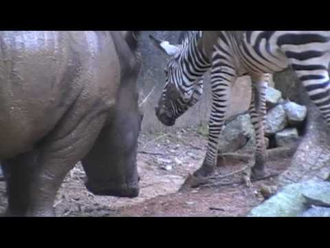 Zebra vs rhino pt4.mpg