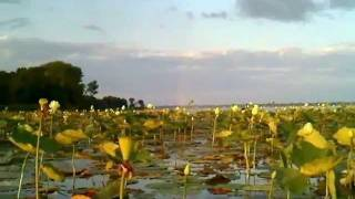 yellow Lotus_0002.wmv