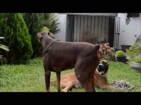 The gallery for --> Doberman Vs Pitbull Fight Video