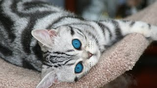 Los Gatos Mas Bellos ,Los Gatos mas Hermosos, The Most Beautiful Cats