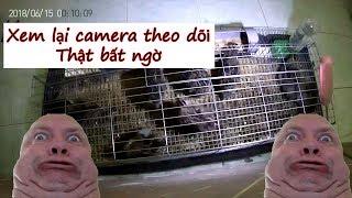 Lắp camera quay lén theo dõi đàn chim cút. Phát hiện điều bất ngờ (Xiaomi Yi 2 camera 720)