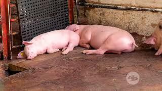Cerdos sugeridos para la producción de carne - La Finca de Hoy