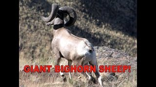 B&C BIGHORN SHEEP HUNT IN IDAHO! | L2H S01 Hell's Canyon