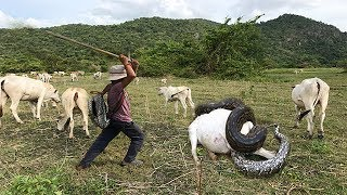 Wow ! Three Brave Boys Catch Big Snake During They looking Their Cows Near Village