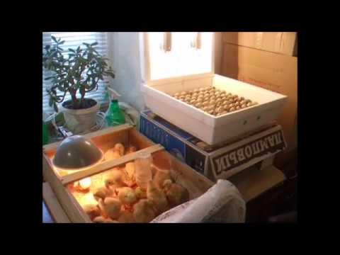 Совместная инкубация перепелиных и куриных яиц - мой опыт