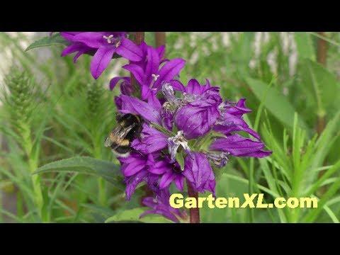 Glockenblumen Im Garten
