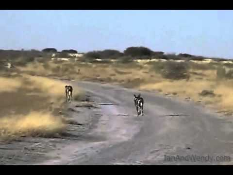 Wild Dogs in the Central Kalahari Game Reserve.(Botswana)