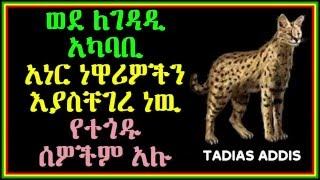Serval Cat Attacks People in Legedadi Ethiopia Tad