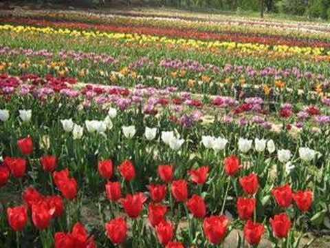 Tulip Garden, Kashmir