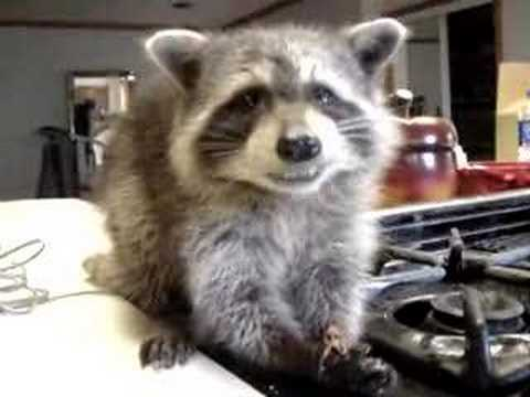 Raccoon Caramel!! super cute animal video