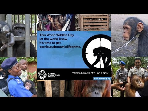 The Illicit Trade in Great Apes | World Wildlife Day