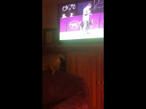 World's Biggest Dog Show Fan #2