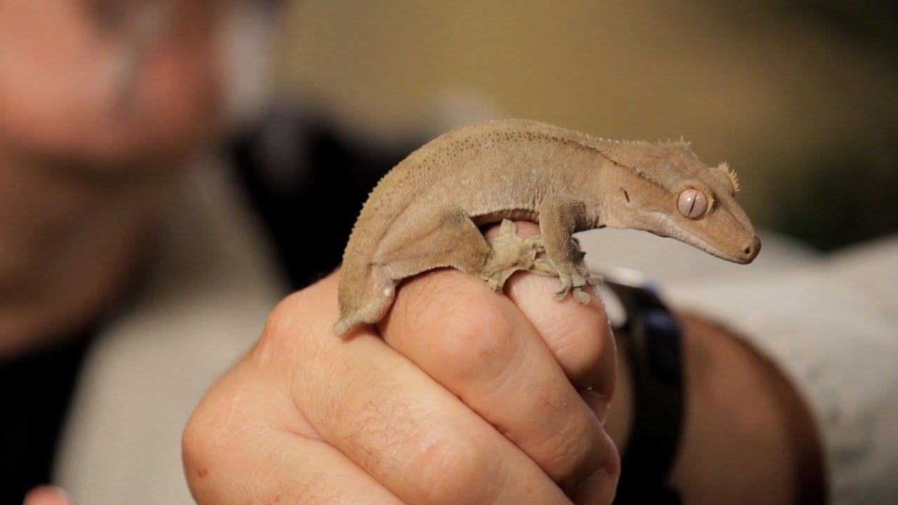 Reptiles Pets at Home Geckos | Pet Reptiles
