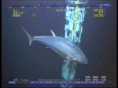 The Rov was doing a deepwater riser inspection on a deepwater drilling rig in the Gulf of Mexico and came across... a rather large Tuna!!!