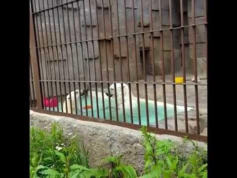 円山動物園ホッキョククマ