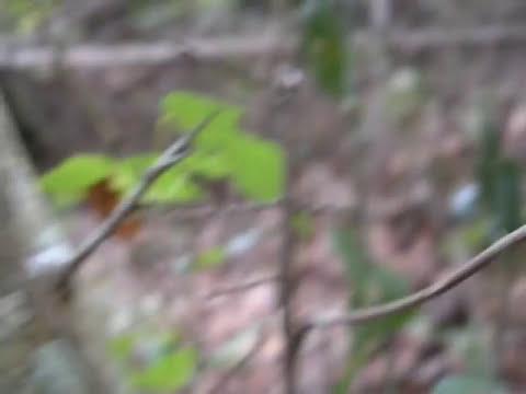 Impresionante insecto palo gigante (Phasmida)