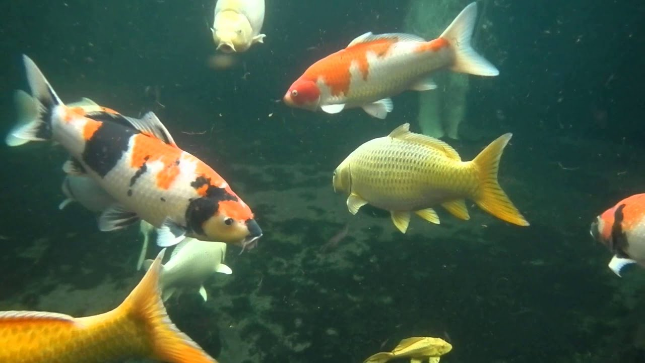 Water proof camera video of my koi pond under water see for Freshwater koi fish