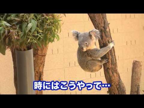 コアラのおもしろ映像(王子動物園)