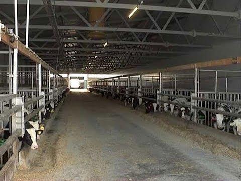 «Мираторг» создал в Курской области уникальное производство по выращиванию молодняка молочного скота