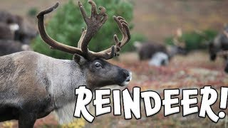 Reindeer!  Learn facts about Reindeer