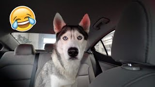 My Husky Reacts to Drive Thru Car Wash!