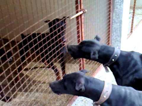 سگ دوبرمن و گريت دين بابک ترابیان