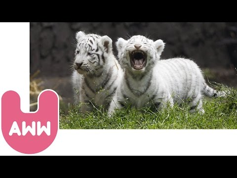 White Tiger Cubs Video