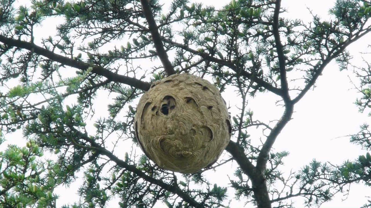 Nid de frelons asiatiques asian hornet youtube - Petit nid de frelon ...