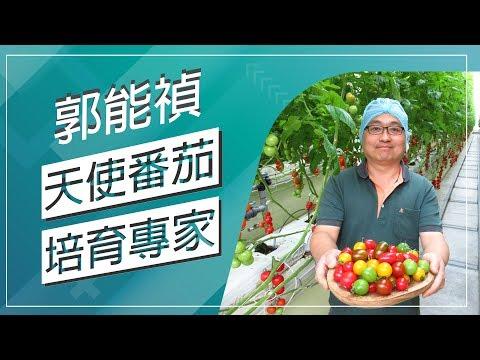 台灣-草地狀元-20180416 - 天使番茄 培育專家